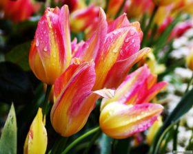 40583783_tulipan125